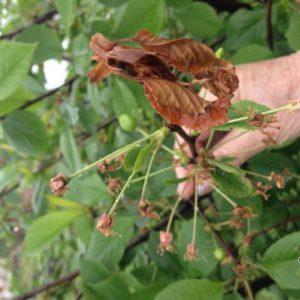 Вишня сохнет после цветения. Почему сохнет войлочная вишня. Сохнут ветки и листья на вишне. В чём причина