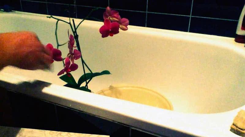 Қалайша орхидея
