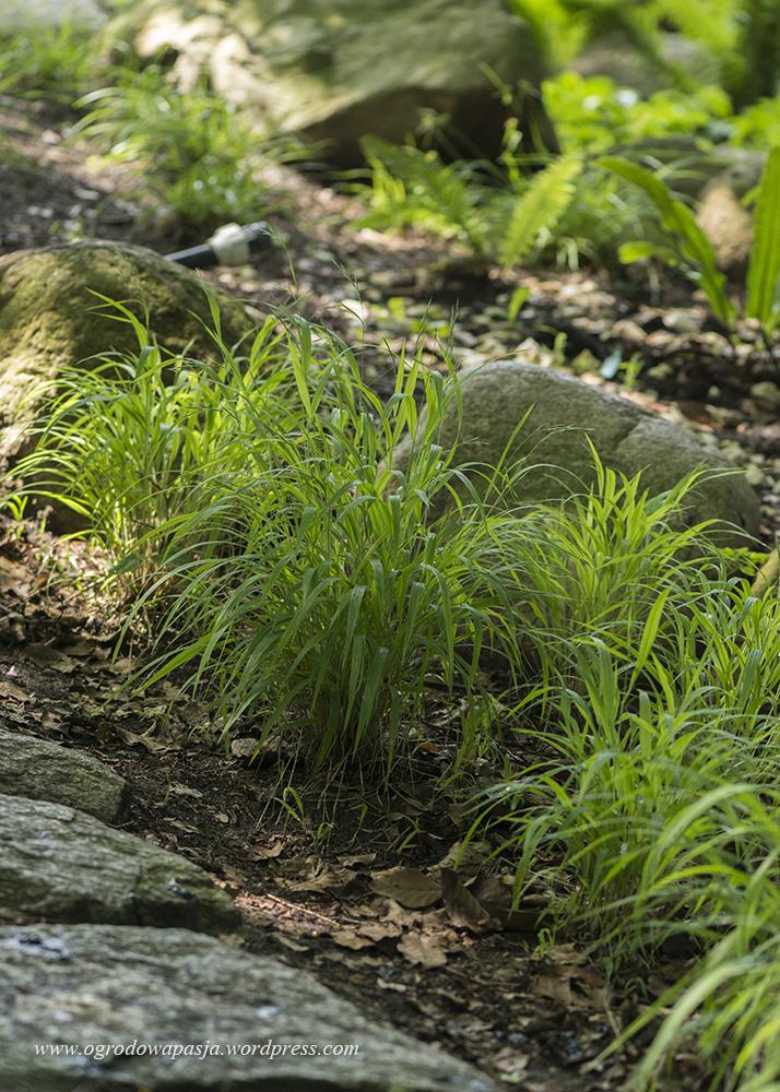 Kłosownica leśna (Brachypodium sylvaticum)