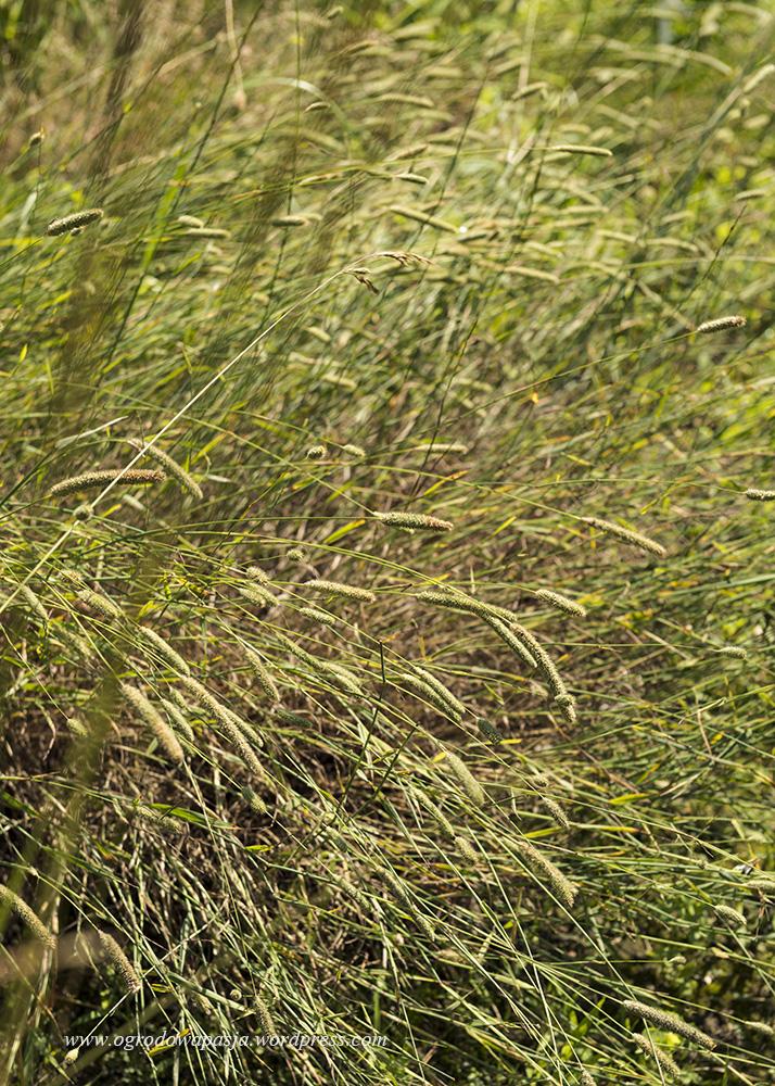 tymotka łąkowa (Phleum pratense)