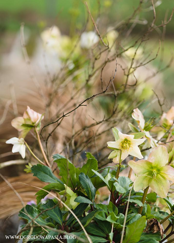 ciemiernik biały Helleborus niger