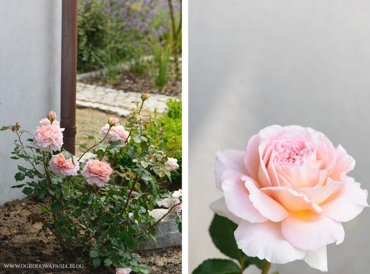 róża historyczna