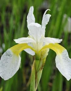 Iris sibirica  echartreuse bounty   kosaciec syberyjski also rh ogrodywodne