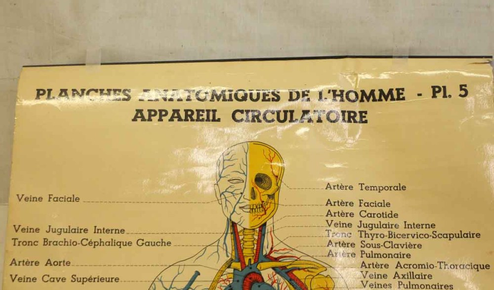 medium resolution of french double sided human skeleton poster