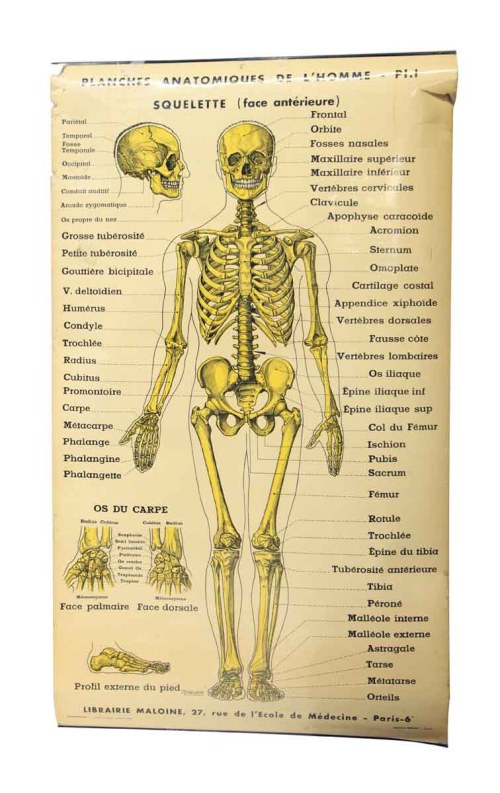small resolution of french double sided human skeleton poster