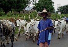 Herdsman & Cows