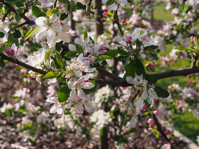 Apfelblüte Spindel