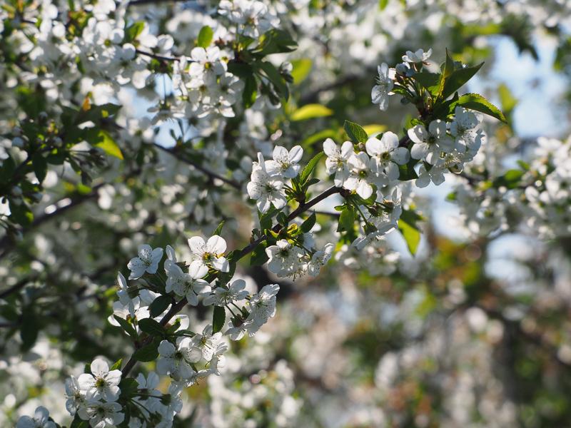 Kirschblüte Sauerkirsche