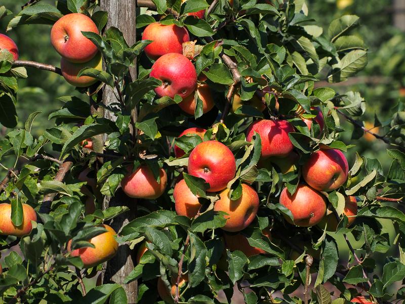 Apfel Merkur