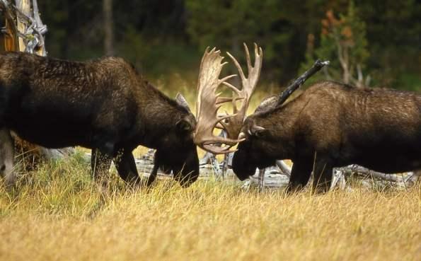 In der Brunft verwenden die Hirsche ihr Geweih für Kämpfe