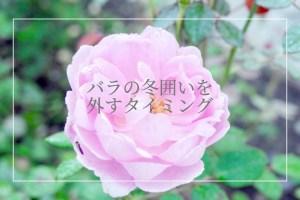 バラの冬囲いを外すタイミング【日本で一番寒い地域で育てた経験より】