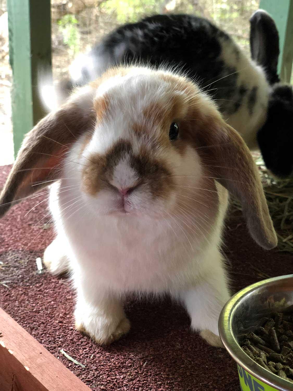Miniature Bunnies For Sale : miniature, bunnies, Puppies, Bunnies, Ohana, Ranch