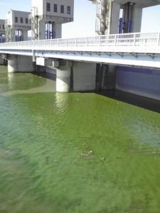 調整池に広がるアオコ (2008年8月撮影)