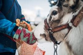 Ett möte med renar på Nutti Sámi Siida i Jukkasjärvi