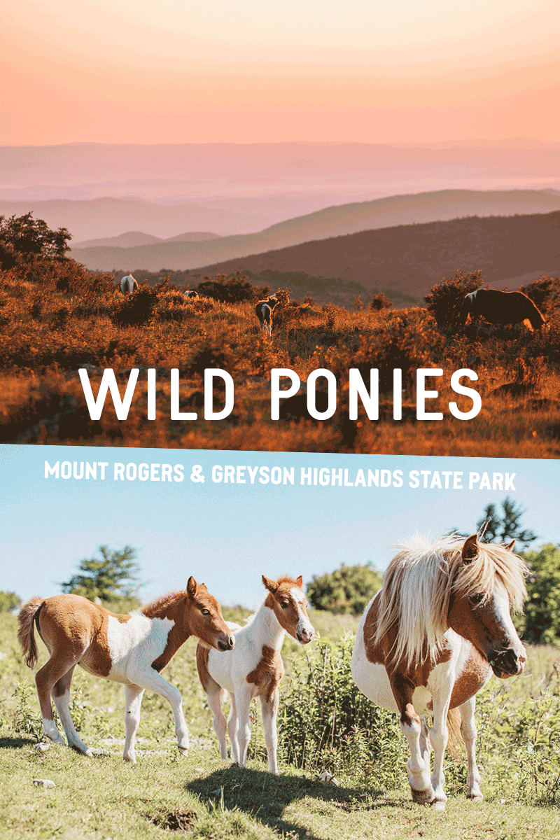 Meet the Wild Ponies of Mount Rogers & Greyson Highlands State Park in Virginia, USA || Jakten efter de vilda ponnysarna vid Mount Rogers & Greyson Highlands State Park i Virginia, USA