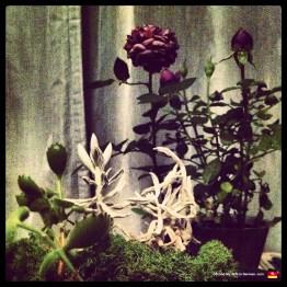 Tea rose behind miniature Chinese garden