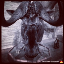 01-taxidermy-hunting-trophy-africa-wildebeest