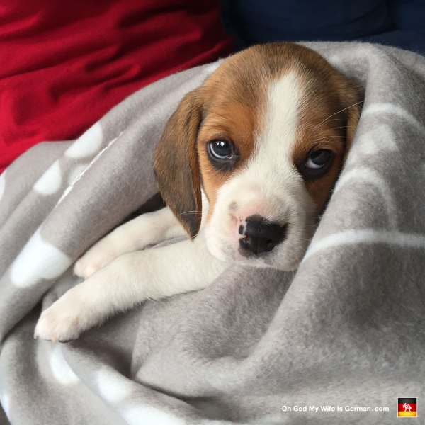 Beagle Puppies with Spots