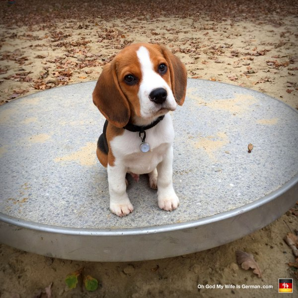 06-adorable-3-month-beagle-puppy God Wife German