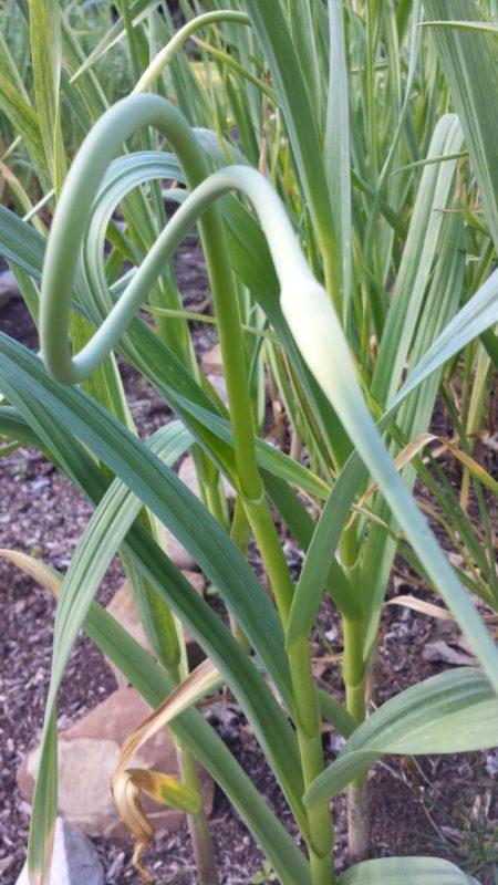 closeup of garlic scapes