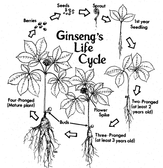Growing American Ginseng in Ohio: Site Preparation and