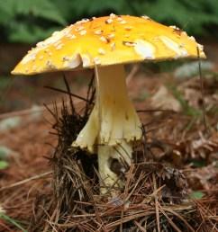 figure 5 fly amanita reddish orange orange to yellow caps with whitish warts poisonous under trees photo courtesy of b bunyard  [ 1076 x 1613 Pixel ]