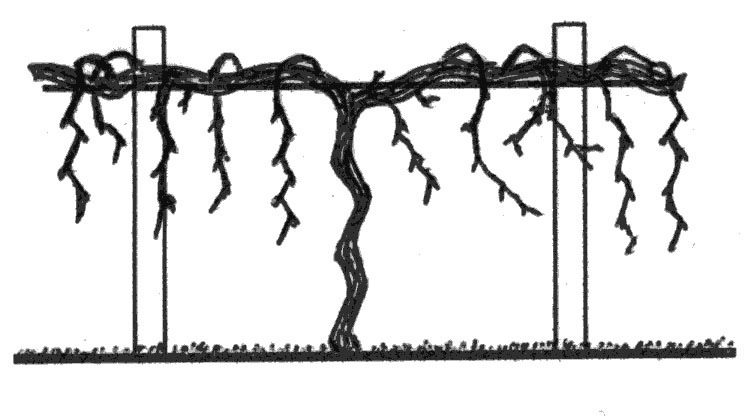 Pruning Backyard Grapevines in the First Three Years