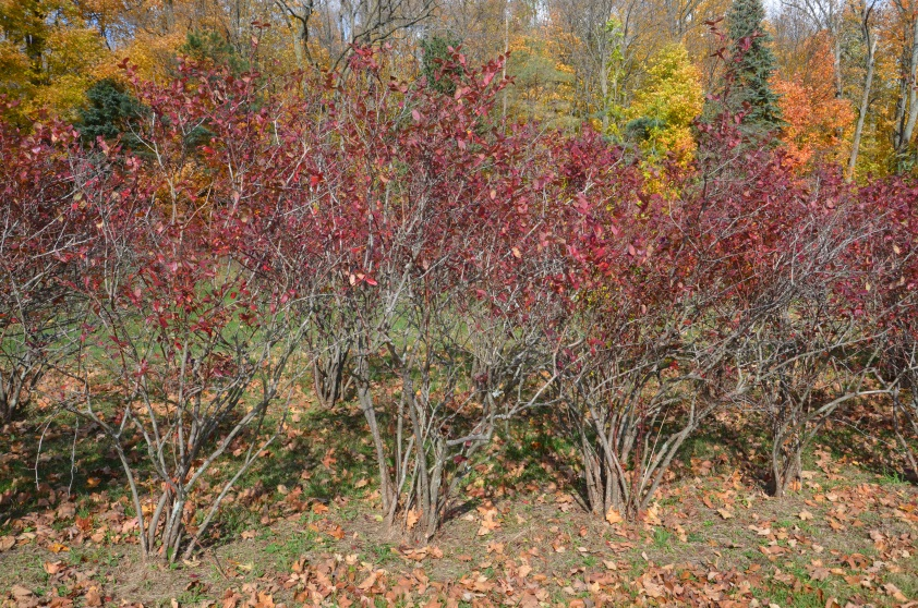 pruning blueberry bushes in