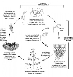 cherry leaf spot disease cycle we wish to thank the new york state agricultural experiment station for use of this figure taken from tree fruit crops ipm  [ 1200 x 1146 Pixel ]