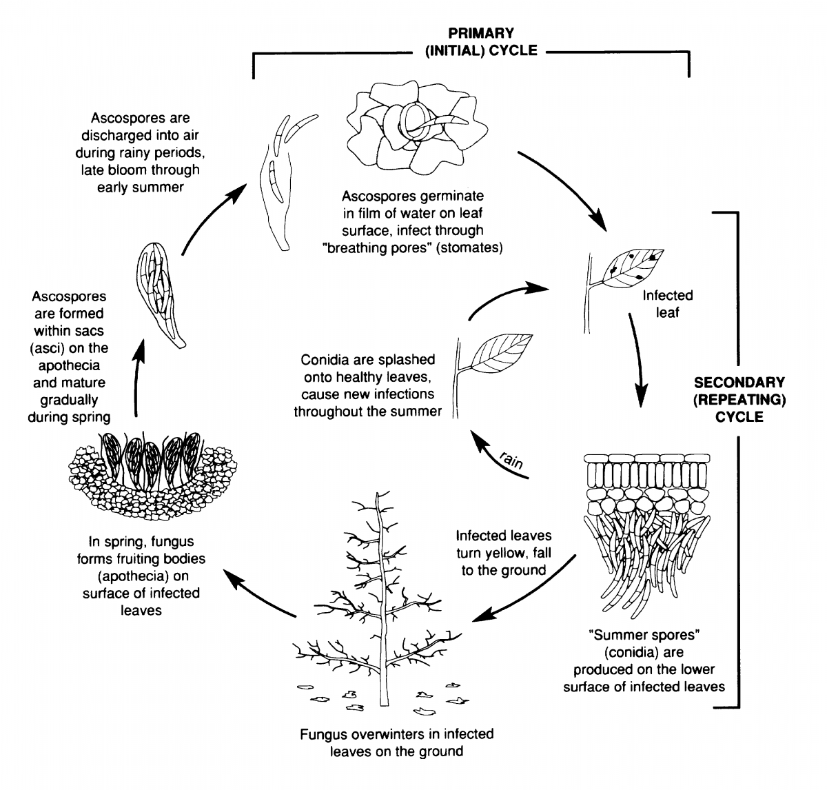 hight resolution of cherry leaf spot disease cycle we wish to thank the new york state agricultural experiment station for use of this figure taken from tree fruit crops ipm
