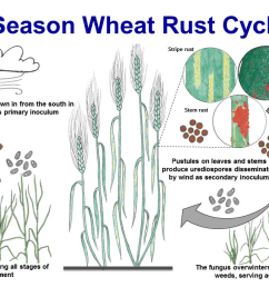 fungicides are available for control of leaf rust on wheat application of a fungicide is often recommended when the variety is susceptible  [ 1117 x 713 Pixel ]