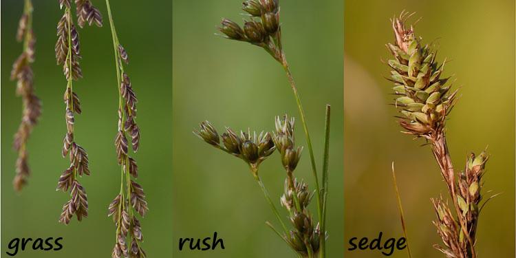 Families Cyperaceae Ohio Plants