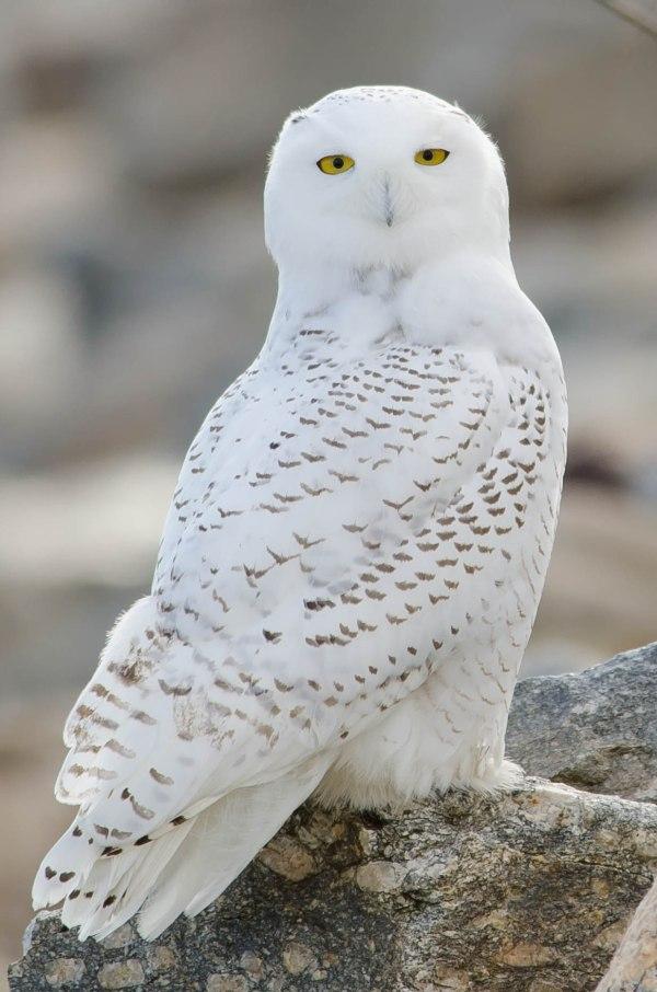 Snowy Owl Irruption Ohio' Wildlife