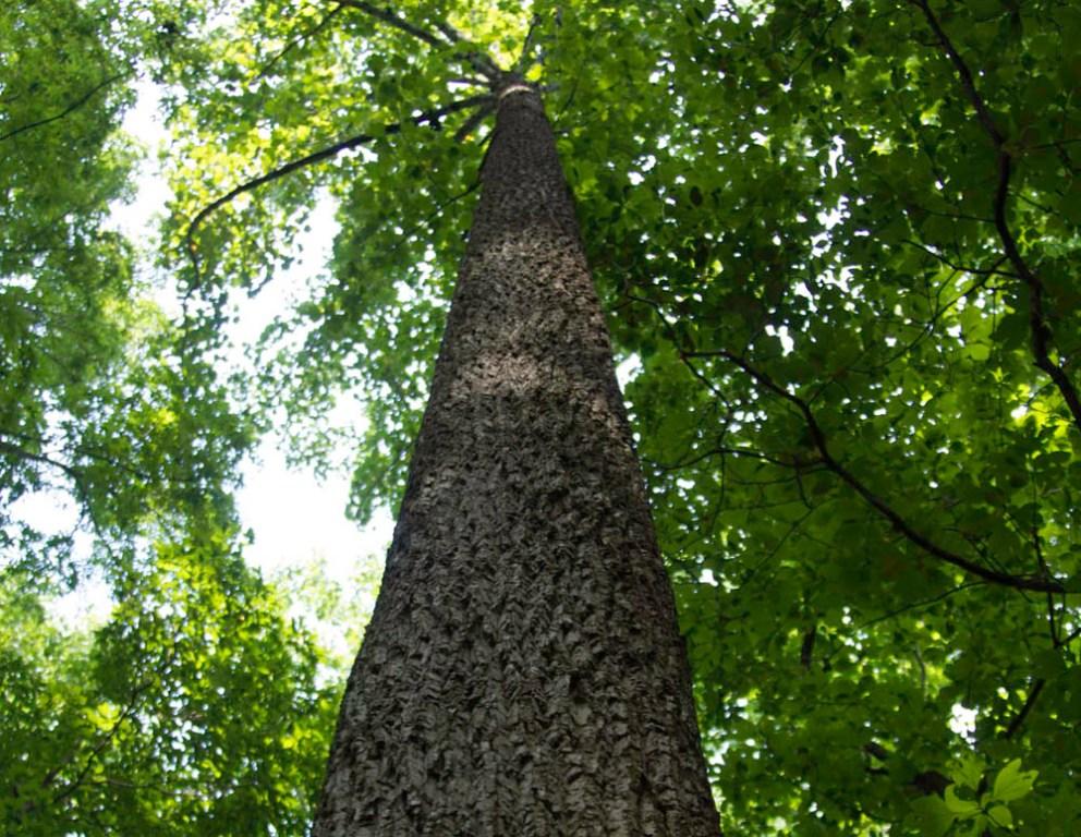 tall straight veneer quality tree