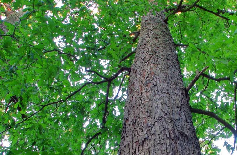 tall white oak tree in ohio
