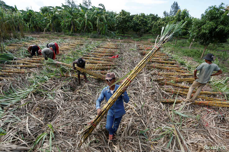 Workers collect chopped sugar cane on the outskirts of Phnom Penh, Cambodia June 3, 2016. REUTERS/Samrang Pring