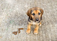 How To Clean Dog Sick Out Of Carpet | Home Plan