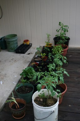 More tomatoes to plant...