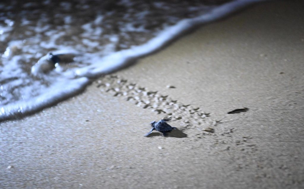 50 Loggerhead turtle hatchlings at Golden Bay