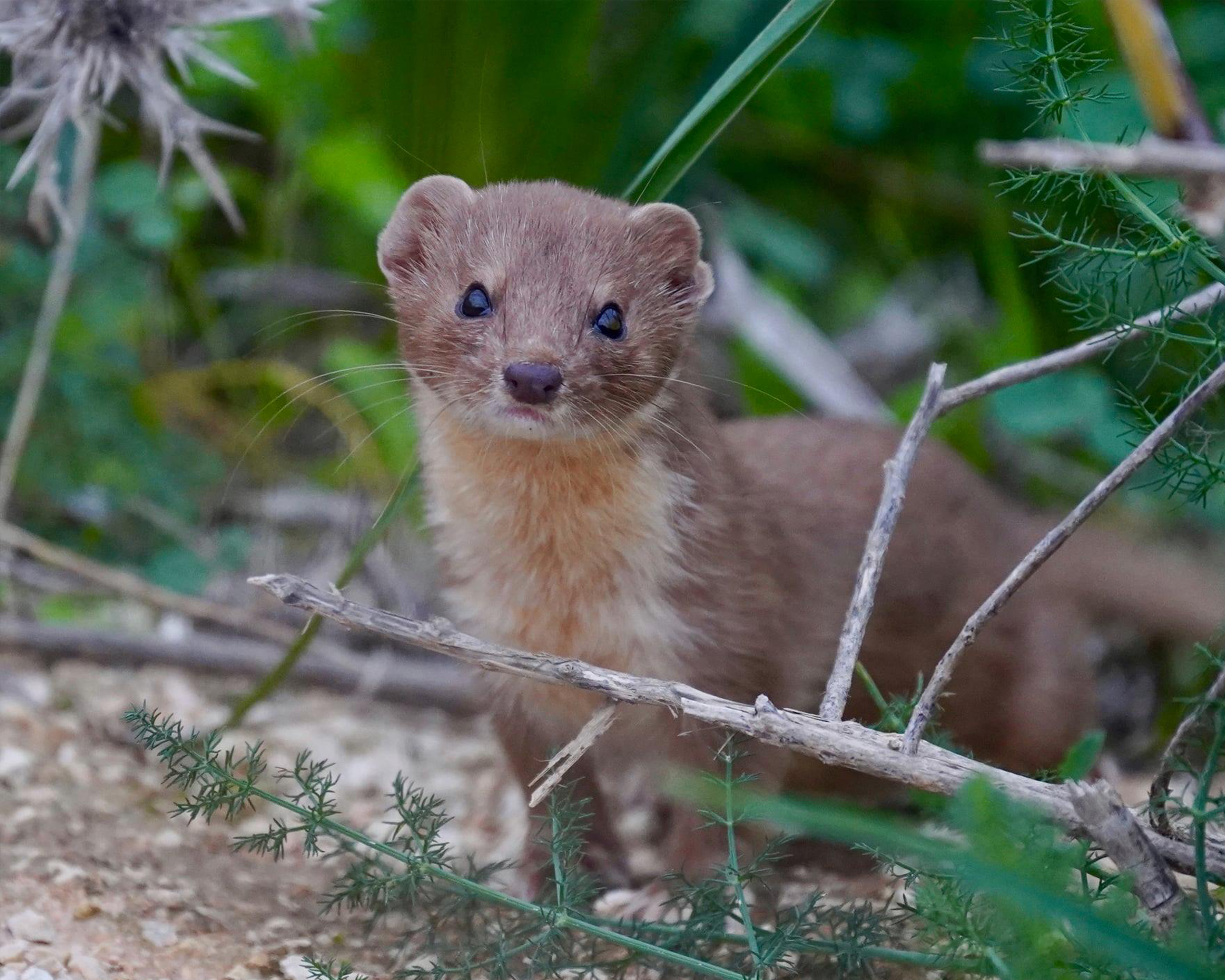 Read more about the article Rare Maltese weasel spotted