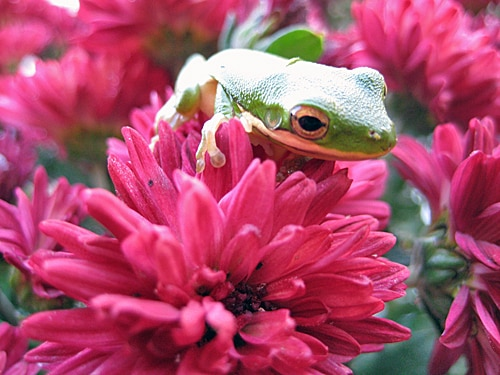 North Carolina Green Tree Frog