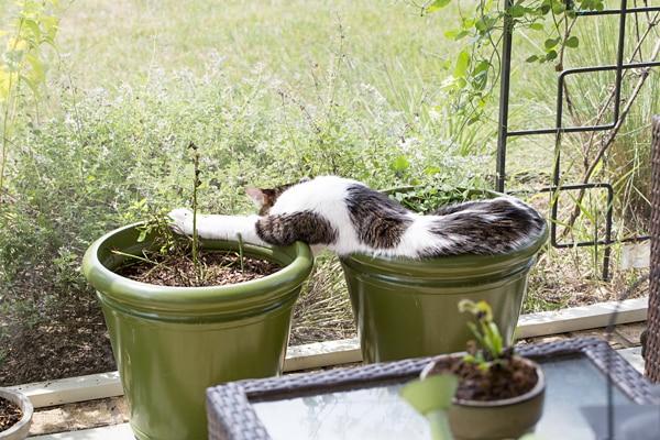 Mochi Sleeping on Catnip - August 2013