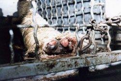 Um dos macacos, Paulo, mastigou o curativo do seu membro debilitado, depois, rasgou sua pele e expôs o próprio osso. O curativo nunca havia sido renovado.