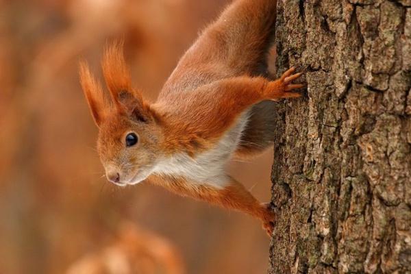 Masivna maženje vjeverica