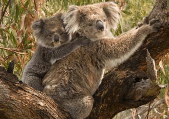 karen_tips_koala