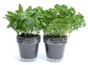 Starting an herb garden