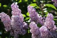 Lilacs in full bloom along Hwy. 97