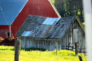 Red barn, abandoned building contrast with bright spring growth
