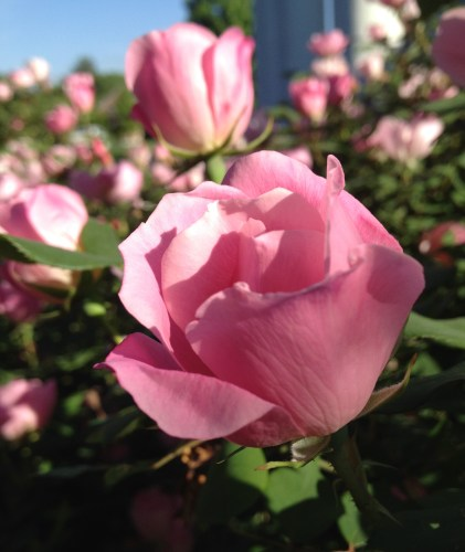 Knock-out roses: Pink