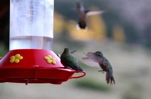 Hummers at feeder in Colorado